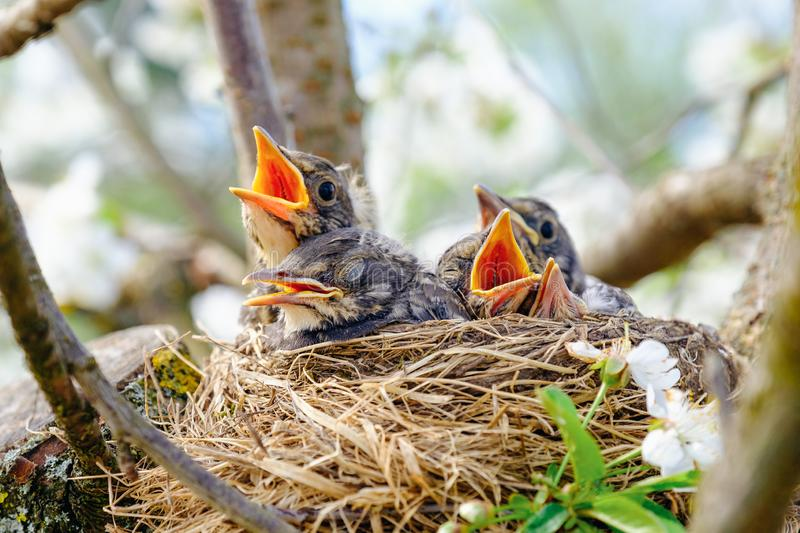 122 Baby Birds Mouths Open Photos - Free & Royalty-Free Stock Photos from  Dreamstime