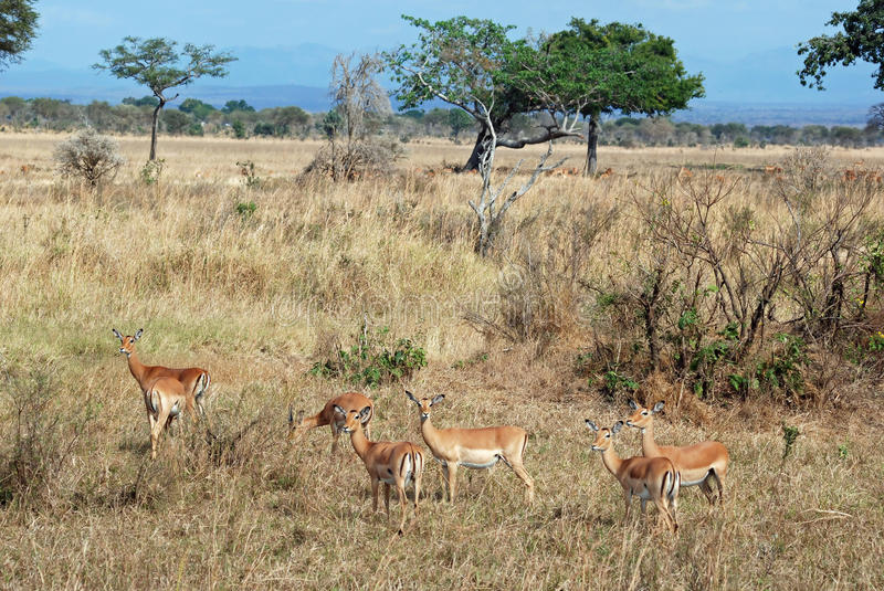 Group Impala in tree Savannah Tanzania. Group female Impala - medium-sized African antelope standing in grass with savanna - bushes - trees - South Tanzania royalty free stock images