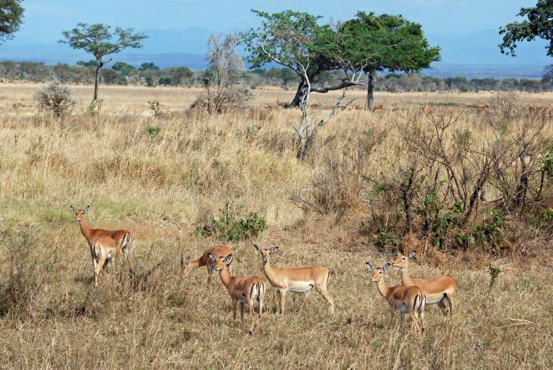 Group Impala in tree Savannah Tanzania royalty free stock images