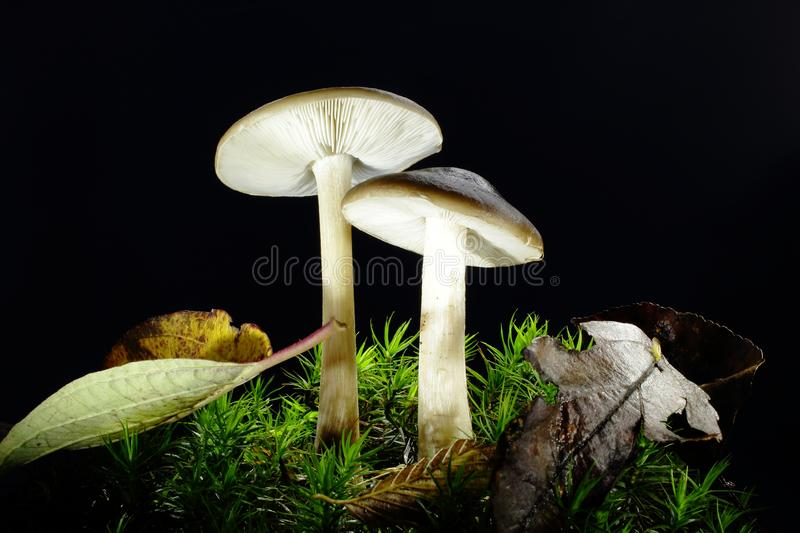 Group of mushrooms in moss. A group of inedible, unspecified fungi growing in moss in a natural forest environment in the Czech Republic stock image