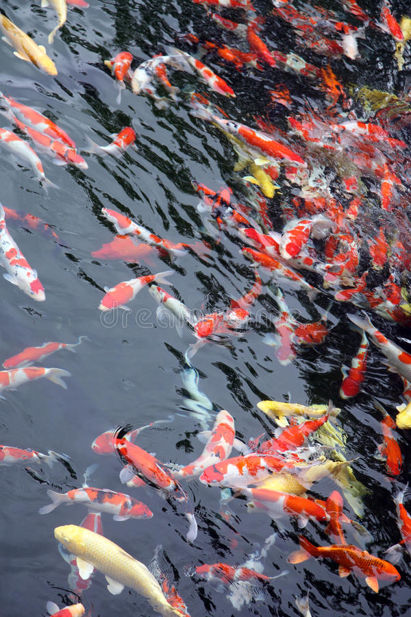 Group of Japanese koi feeding stock photography
