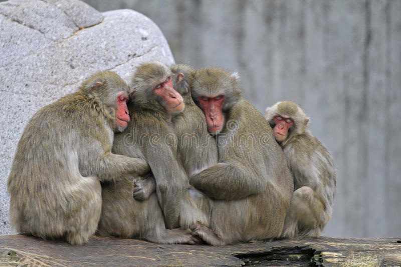 A group of japanese macaque. Sitting together royalty free stock image
