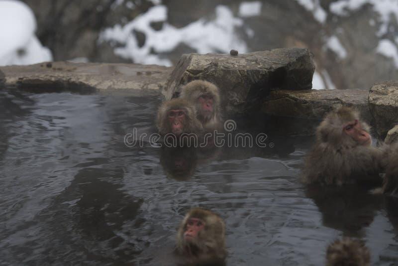 Group of Japanese macaque or snow monkey, Macaca fuscata , sitting in hot spring, looking at camera. Joshinetsu-Kogen National. Park, Nagano, Japan royalty free stock images