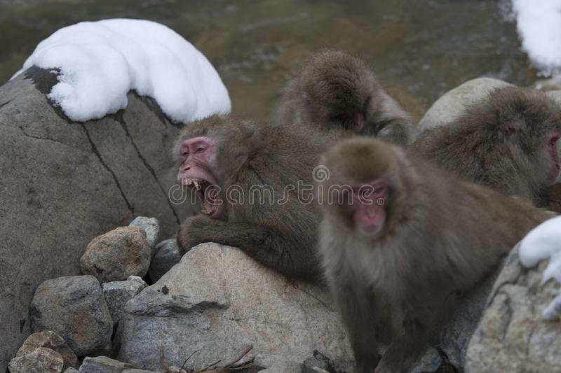 Group of Japanese macaque or snow monkeys, Macaca fuscata , sitting on rock of hot spring, one with mouth open showing teeth. J. Oshinetsu-Kogen National Park royalty free stock photography