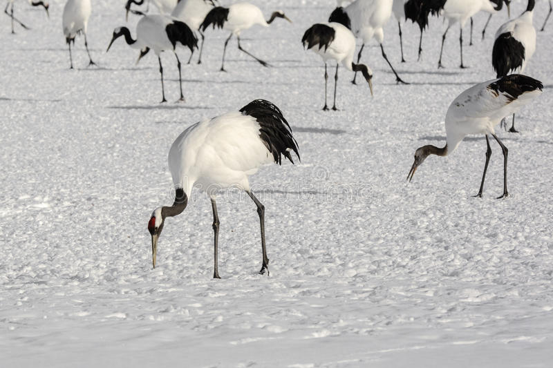 Group of Japanese Red-Crowned Cranes Foraging. An endangered species of crane, this beautiful, large white and black bird with red cap on its head foraging for royalty free stock images