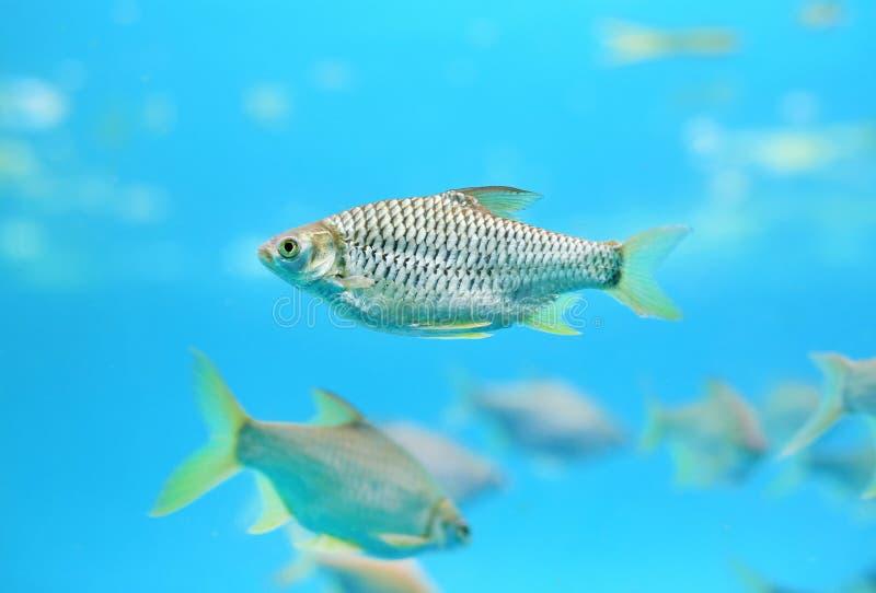 Group of Java barb fish Barbonymus gonionotus swimming in aquarium.  stock photos