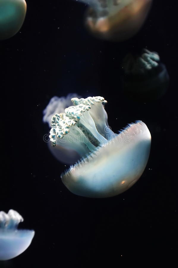 Download Group of jellyfish stock image. Image of transparent - 18236877