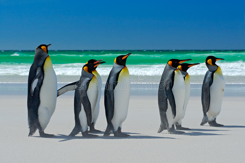 Group of King penguins, Aptenodytes patagonicus, going from white sand to sea, artic animals in the nature habitat, dark blue sky, royalty free stock photos
