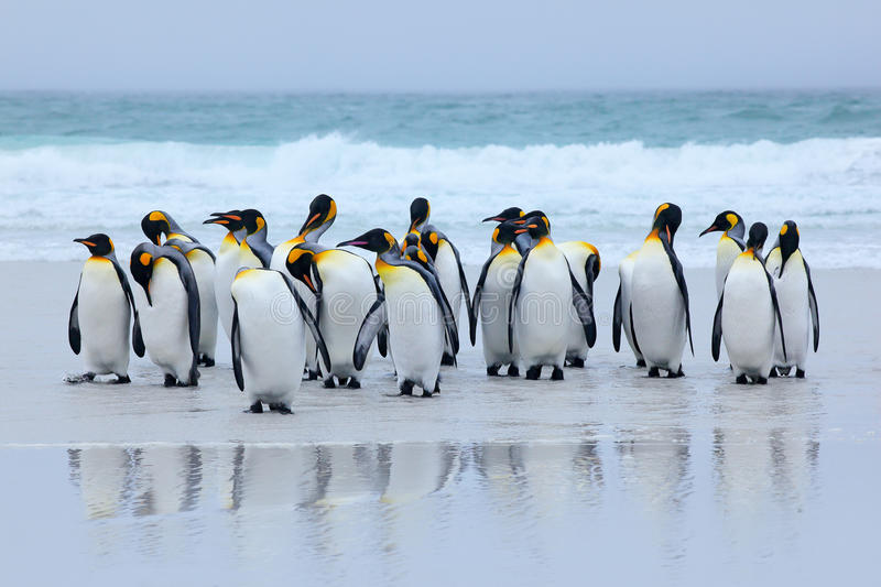 Group of king penguins coming back together from sea to beach with wave a blue sky, Volunteer Point, Falkland Islands. Wildlife sc. Ene from Antarctica royalty free stock images