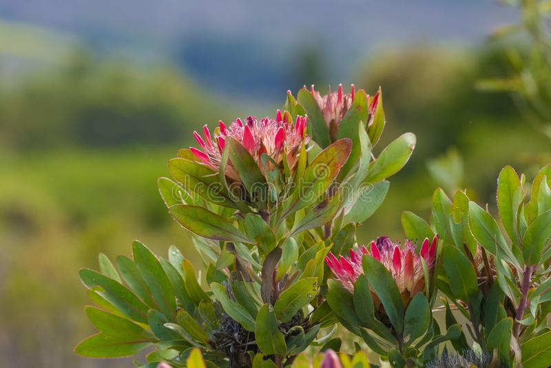 Group of King protea blooms, Protea cynaroides stock photo