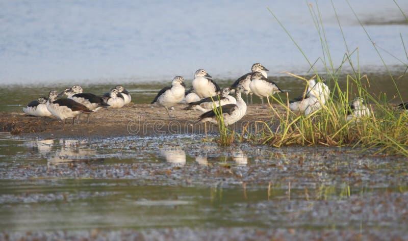 Group of knob bill duck bird royalty free stock image