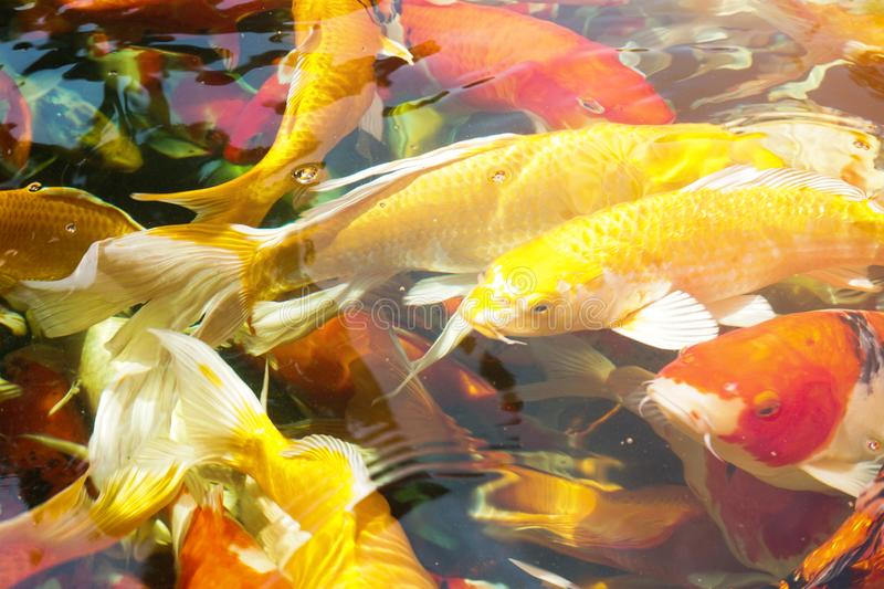 Group of Koi fish in the pond royalty free stock photography