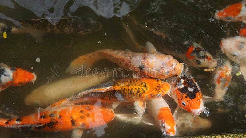 Group of Koi fish in a pond royalty free stock images
