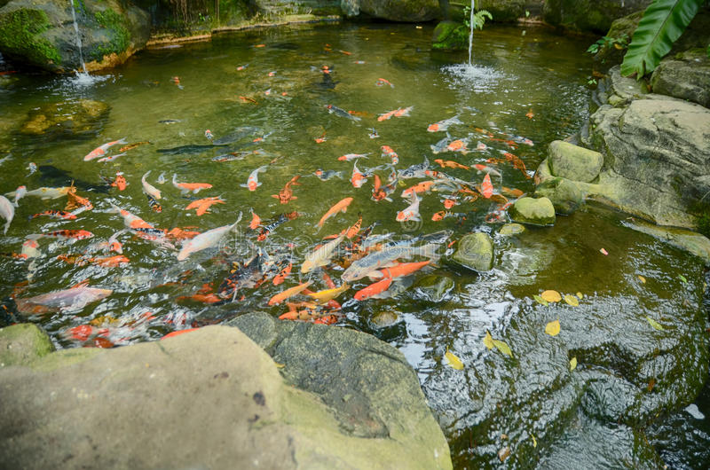 Group of Koi Fish with red, orange,white and yellow color swimming in garden pool royalty free stock image