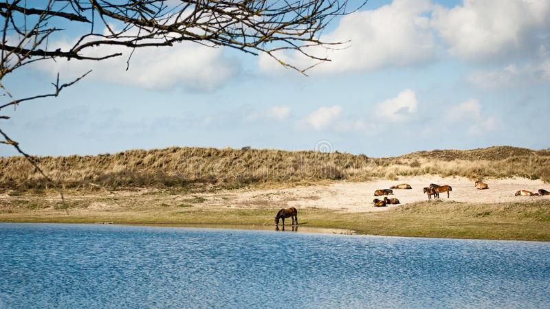 Group of Konik horses near a dune lake. A herd of wild Konik horses in the dunes at the edge of a little dune lake. One of the horse is drinking the water of the stock photo