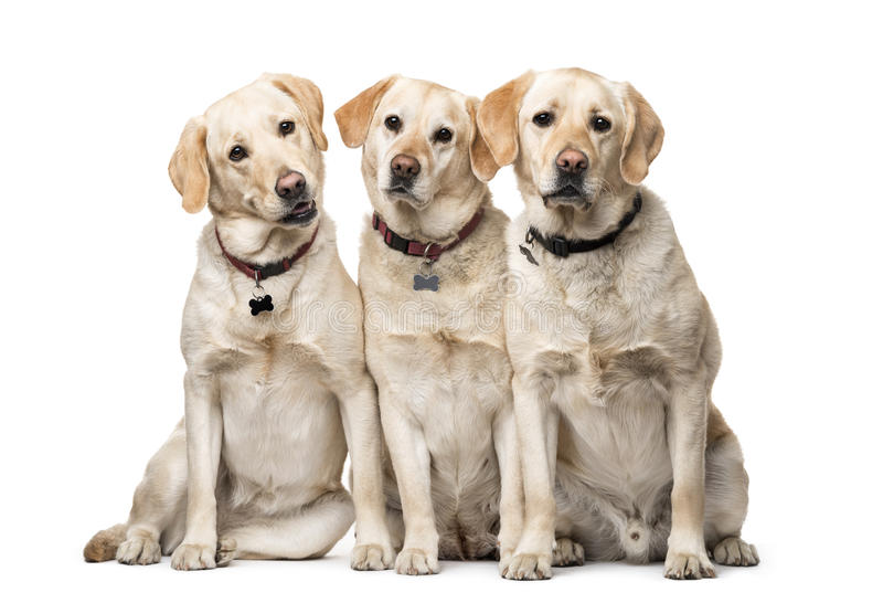 Group of Labrador Retriever dogs sitting. Isolated on white stock photography
