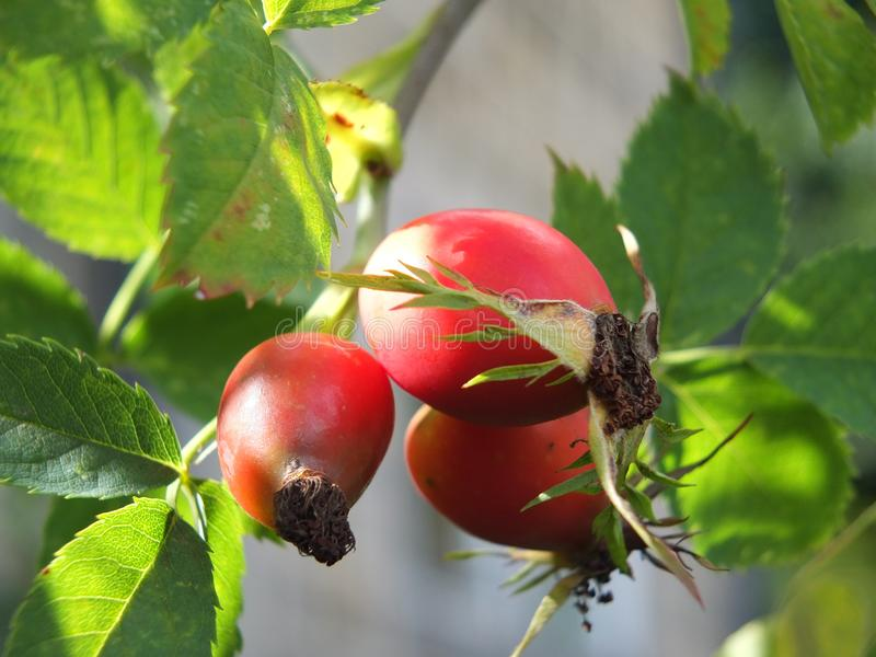 A group of large bright red wild rosehips on a dog rose bush in early autumn. Close up of a group of large bright red wild rosehips on a dog rose bush in early royalty free stock images