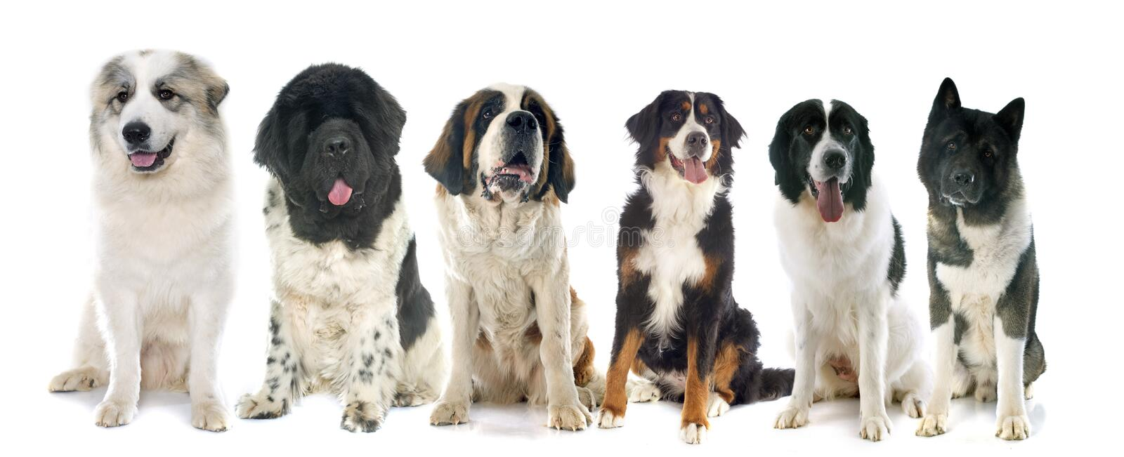 Group of large dogs. In front of white background stock photos