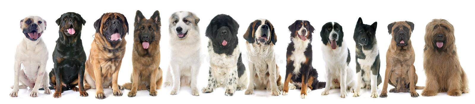 Group of large dogs. In front of white background royalty free stock image