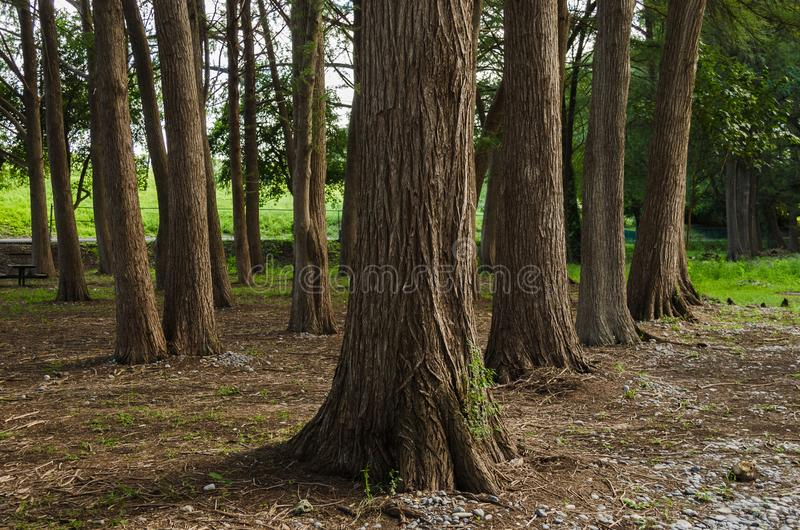 Group of large trees outdoors in rural area, outdoors in tourist forest. Beautiful nature landscape stock photography