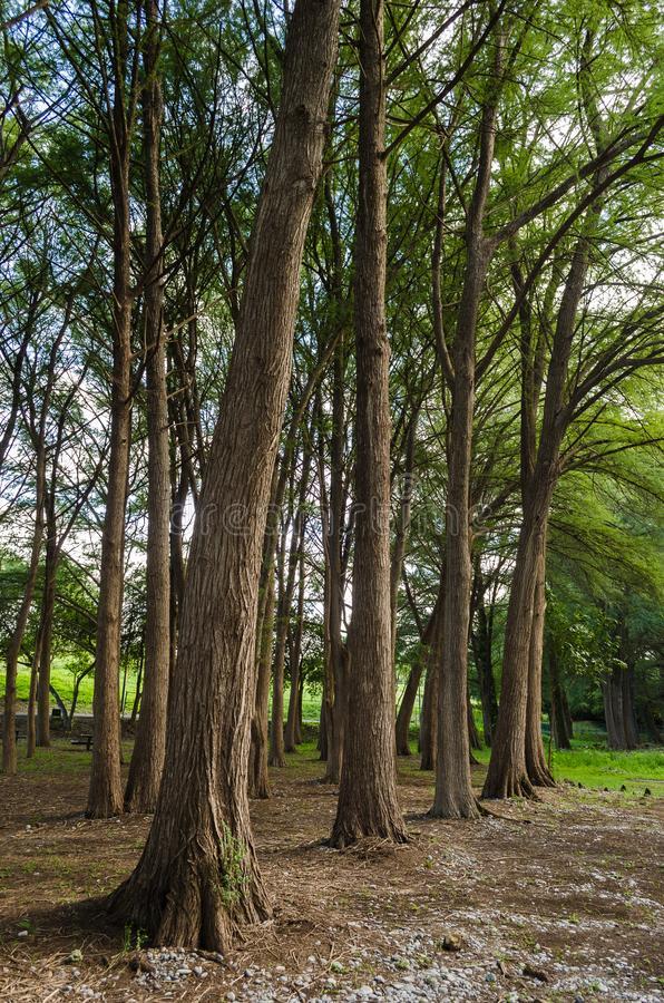 Group of large trees outdoors in rural area, outdoors in tourist forest. Beautiful nature landscape royalty free stock photo