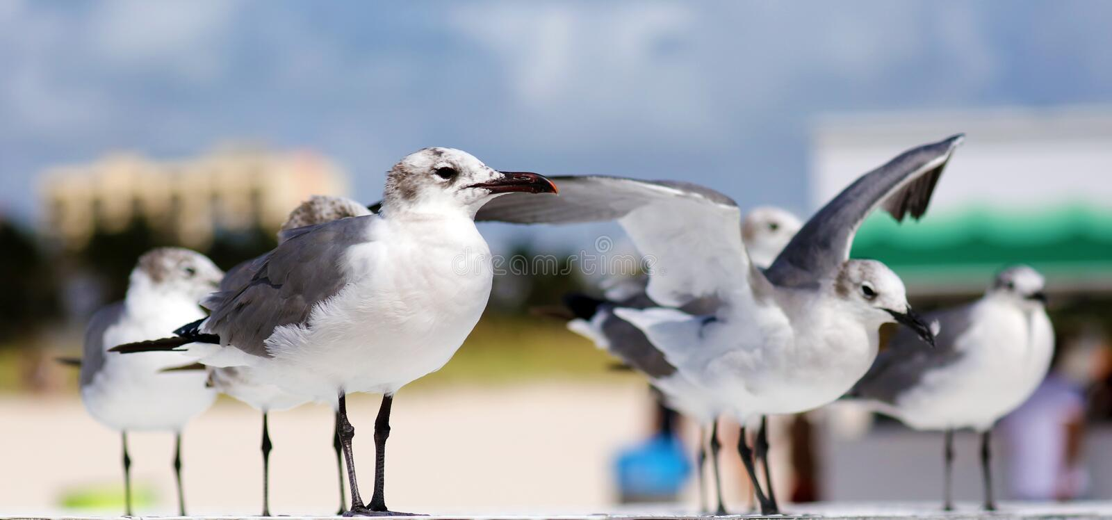 Group of Laughing gull Seagull in south Florida Miami beach. Seagull flying in ocean in south Florida Miami beach beautiful bird stock photography