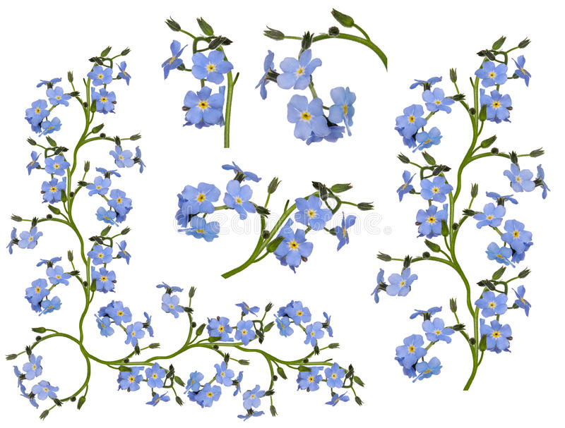 Group of light blue forget-me-not flower elements. Isolated on white background royalty free stock photos