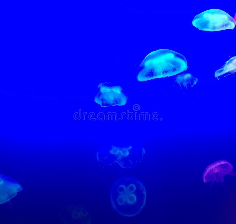 Light blue jellyfish. Group of light blue jellyfish swimming stock image