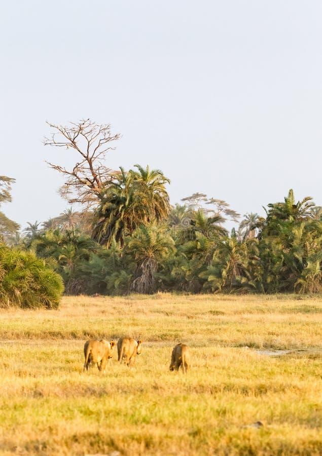 Group of lioness goes away. Amboseli, Kenya royalty free stock image