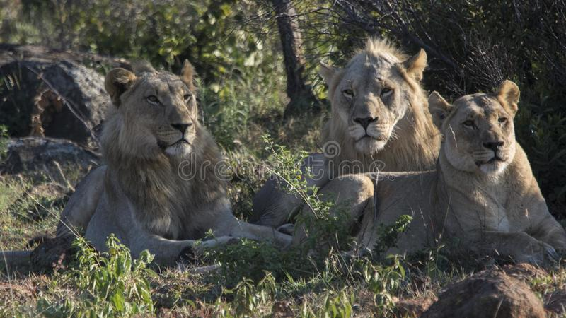 Group of lions at Pilanesberg National Park royalty free stock photography