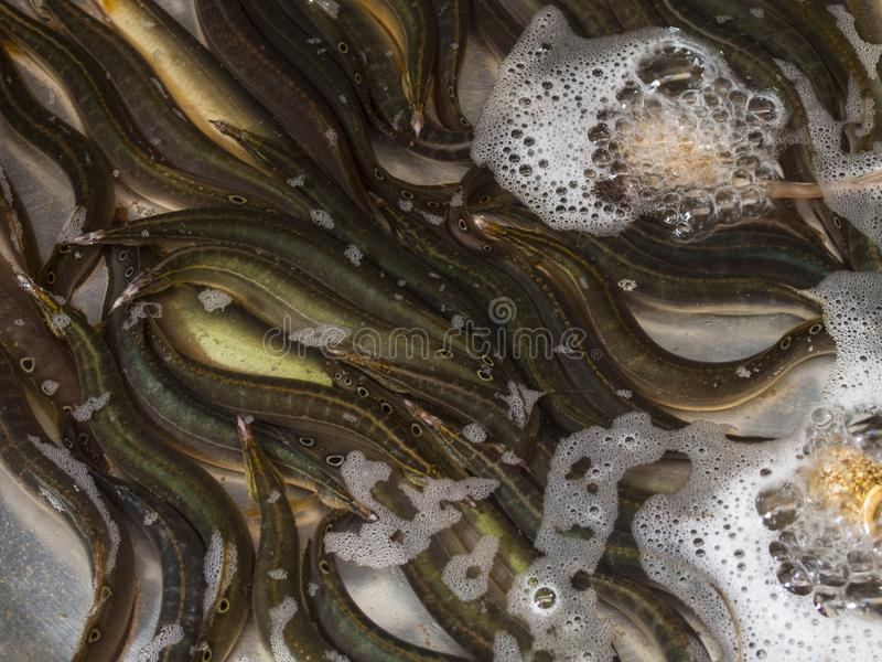 Group of live eels. For selling royalty free stock image