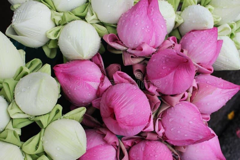 Group Of Lotus Preparing For Glorification. Stock Images