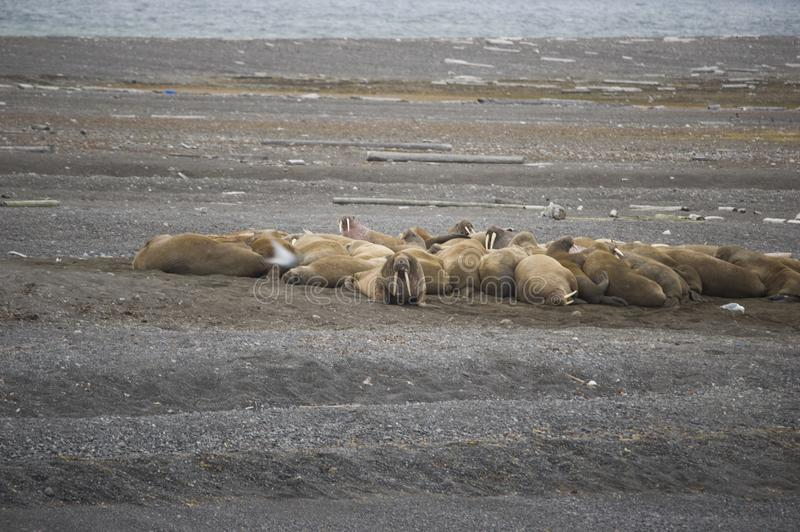 A group of lounging walrus in Arctic. A group of cute walrus lounging and playing in the Arctic stock photos