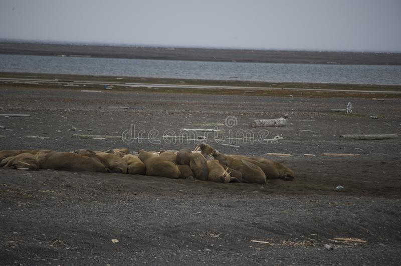 A group of lounging walrus in Arctic. A group of cute walrus lounging and playing in the Arctic royalty free stock photography