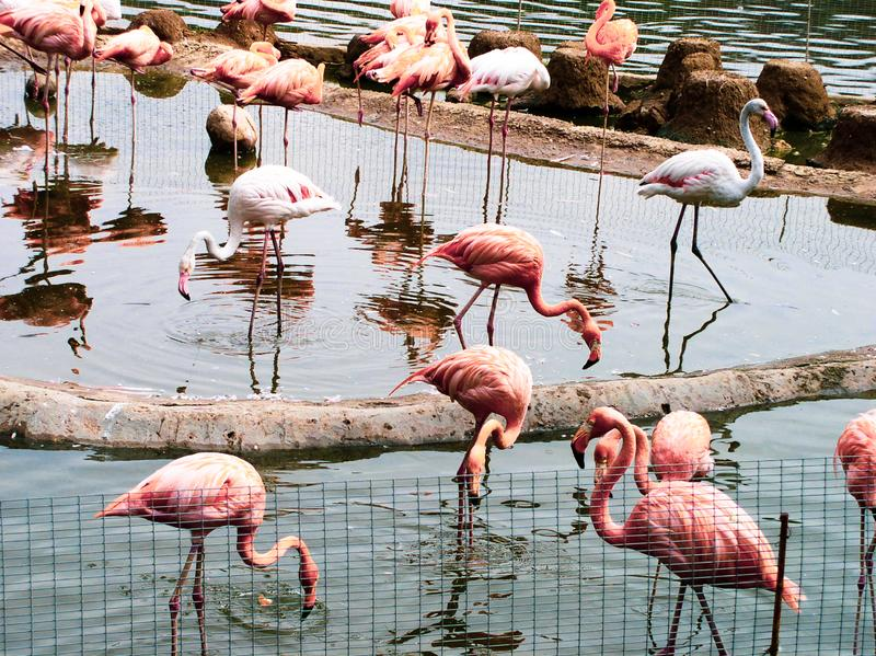 A group of lovely pink flamingos stock photo