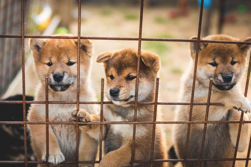 Group of lovely red japanese shiba inu puppies sitting in the aviary and trying to escape. Group of lovely red japanese shiba inu puppies sitting in the aviary stock photography