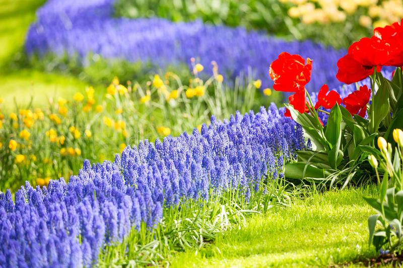 Group of lupines and red tulips and other beautiful flowers growing on flowerbed as nice natural floral background. Group of lupines and red tulips and other royalty free stock photography