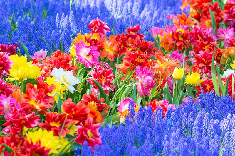 Group of lupines, tulips and other beautiful flowers growing on flowerbed as nice natural floral background. Group of lupines, tulips and other beautiful royalty free stock image