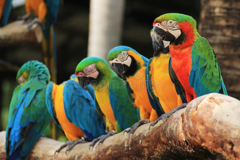 Group of Macaw Birds. [Scarlet Macaw] [Ara ararauna] sitting on log stock image