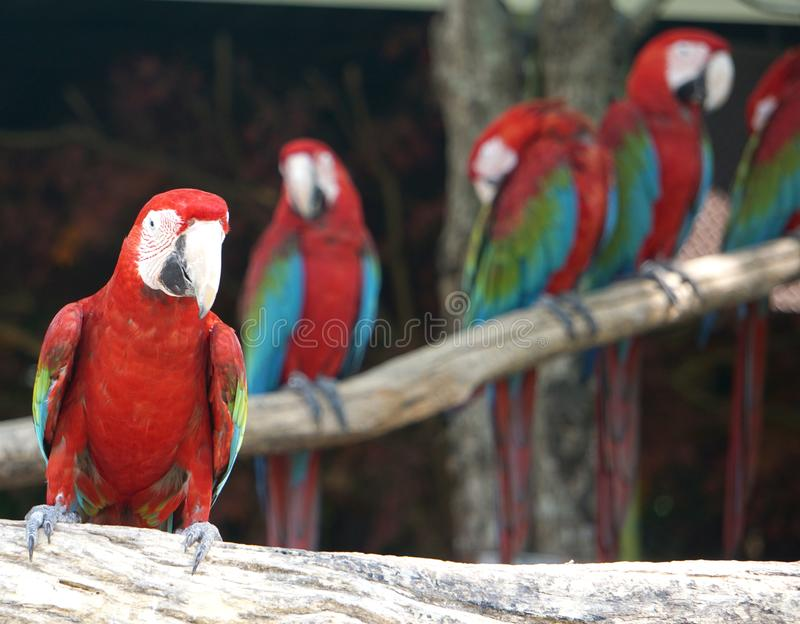Group of macaws bird. royalty free stock images