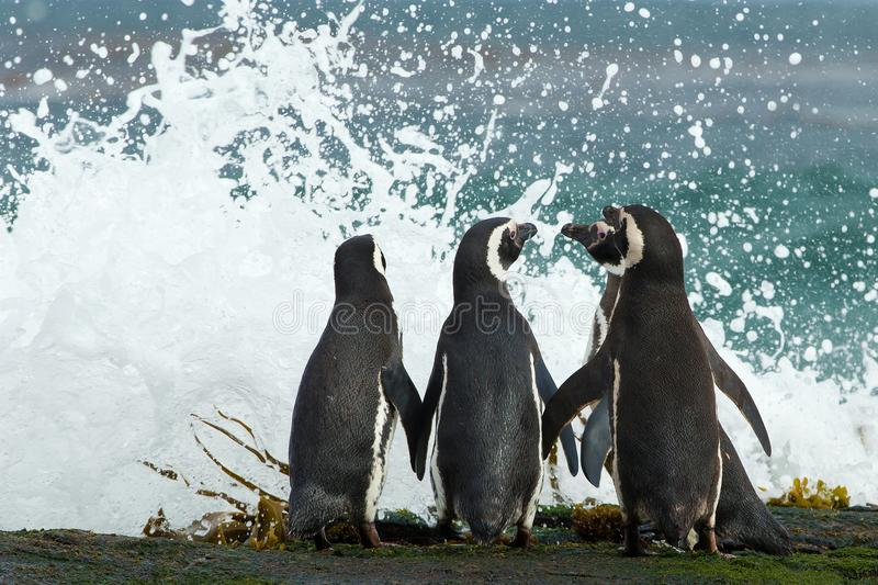 Group of Magellanic penguins gather together on the rocky coast royalty free stock photos