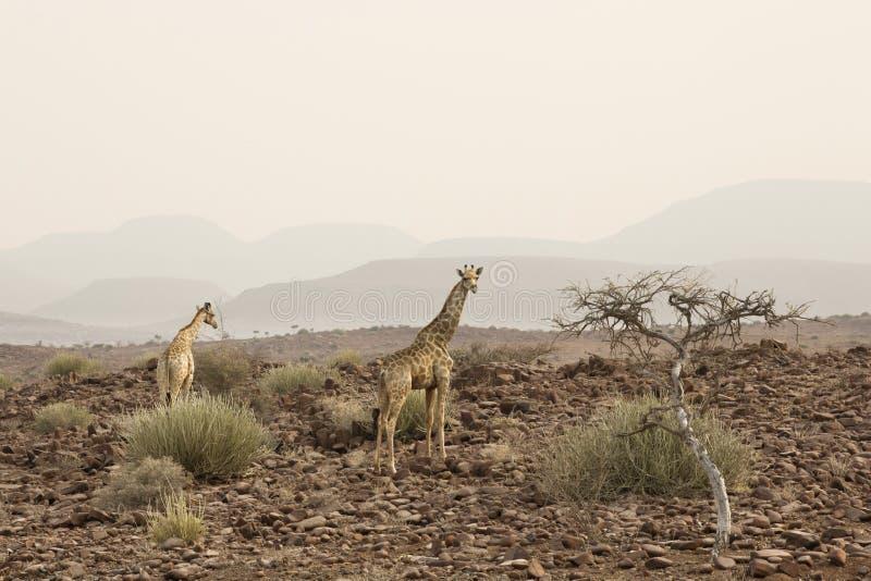 Male giraffe walking in african bush. Etosha national park, Namibia. Group of Male giraffes walking in african bush. Etosha national park, Namibia stock photos