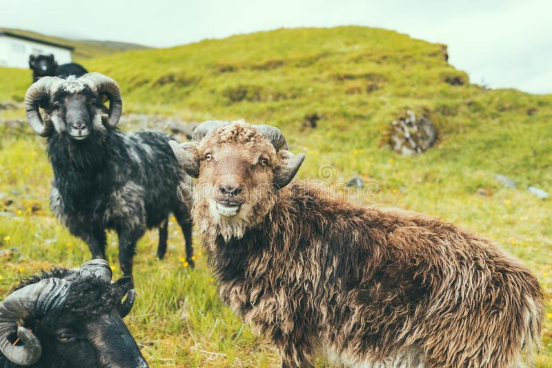 Group of male sheeps with big horn on green grass hill in farm, cloudy weather in Faroe Islands, noth Atlantic ocean, Europe, stock photography