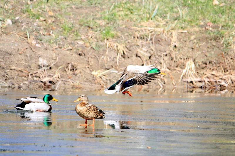 Group of mallard ducks during the thaw in spring stock photos