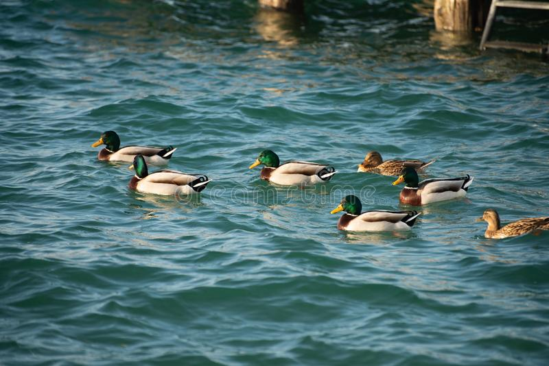 The group of mallards swim in the calm lake of winter. Domestic bird at the lake, Anas platyrhynchos stock image