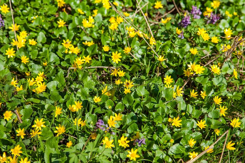 Group of Marsh Marigold Caltha palustris blooming in spring fo stock photo