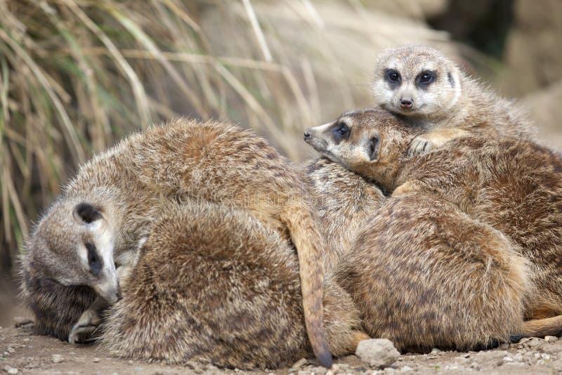 Download A group of Meerkats stock photo. Image of meerkat, nature - 33688862