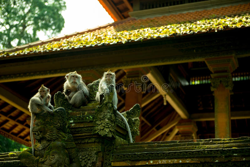 A group of monkey at Sacred Monkey Sanctuary Temple, Ubud, Indonesia royalty free stock photos