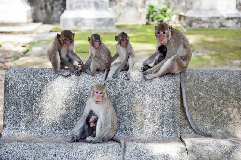 Group of monkeys at Ku Phra Kona Temple in Roi Et province, Northeastern Thailand.  royalty free stock photo