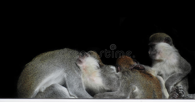 Group of monkeys sitting in a row close to each other like family and crying child isolated at black view from back stock photography